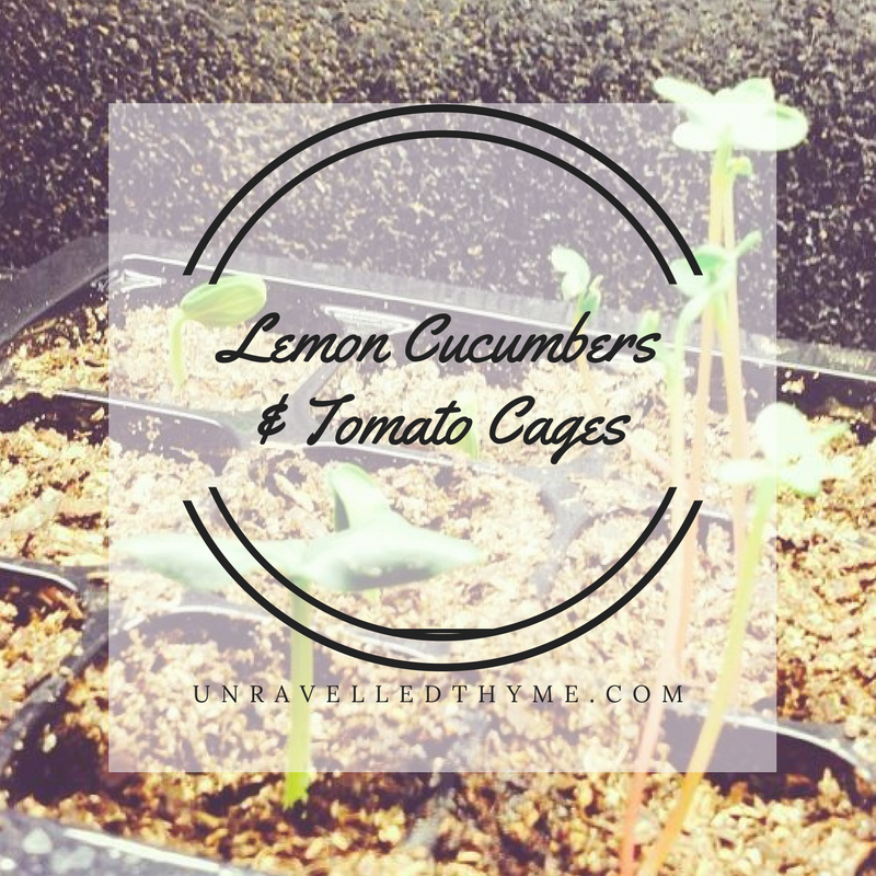 Lemon Cucumbers and Tomato Cages